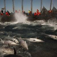 Atlantic bluefin are corralled by fishing nets as the tuna fishing season opened off the coast of Barbate in southern Spain in April 2011. | AP