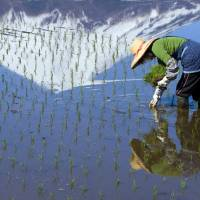 A woman plants rice by hand in a paddy field below Mount Fuji. Prime Minister Shinzo Abe will soon submit legislation to shake up the sector, while simultaneous talks on the Trans-Pacific Partnership threaten to eliminate tariffs that protect farmers. | ISTOCK