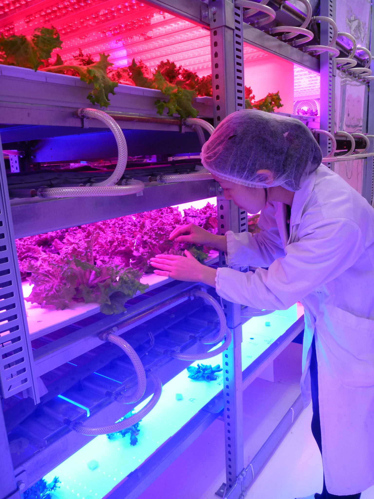 A researcher inspects leaf lettuce grown under colored LEDs in a lab on Tamagawa University's Machida campus in Tokyo in January. Adjusting the light's hue affects the taste. | KYODO