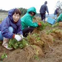 Farmers harvest Angelica acutiloba in Asuka, Nara Prefecture, in December. The native plant was widely used in herbal remedies in the past and is now cultivated across East Asia. | KYODO