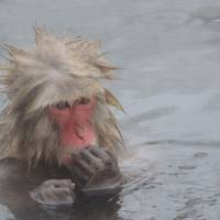 A Japanese macaque seeks warmth from a hot spring in Shiga Kogen. | DAVEY YOUNG