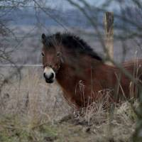 Ponies ride to the rescue of Czech ecosystem