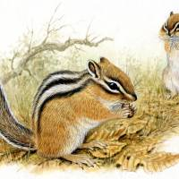 Beauty sleep: The Siberian chipmunk stores sufficient food in autumn to last it through a prolonged hibernation. | YABUUCHI MASAYUKI
