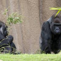 Gorillas are pictured in their enclosure at the zoo in Los Angeles in January. Revealing new details about the origins of AIDS, scientists said Monday half the lineages of the main type of human immunodeficiency virus, HIV-1, originated in gorillas in Cameroon before infecting people, probably via bushmeat hunting. | REUTERS