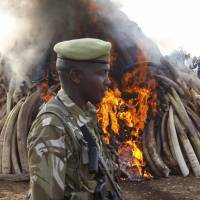 Kenya destroys 15 tons of ivory taken from poachers