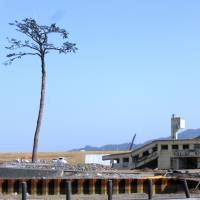 The 'miracle pine' stands tall on Feb. 24 in Rikuzentakata, Iwate Prefecture. The tree remained standing after the tsunami caused by the Great East Japan Earthquake on March 11, 2011, but later died from the saltwater damage and was preserved by the city. | SHUSUKE MURAI