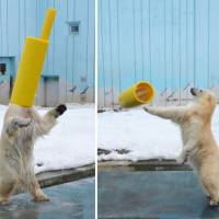 A polar bear named Milk, a popular draw at Kushiro City Zoo, plays with a gas pipe on her head. | KYODO