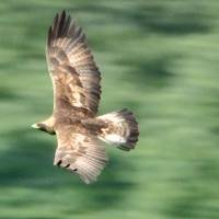 Japanese golden eagles face extinction as numbers dive