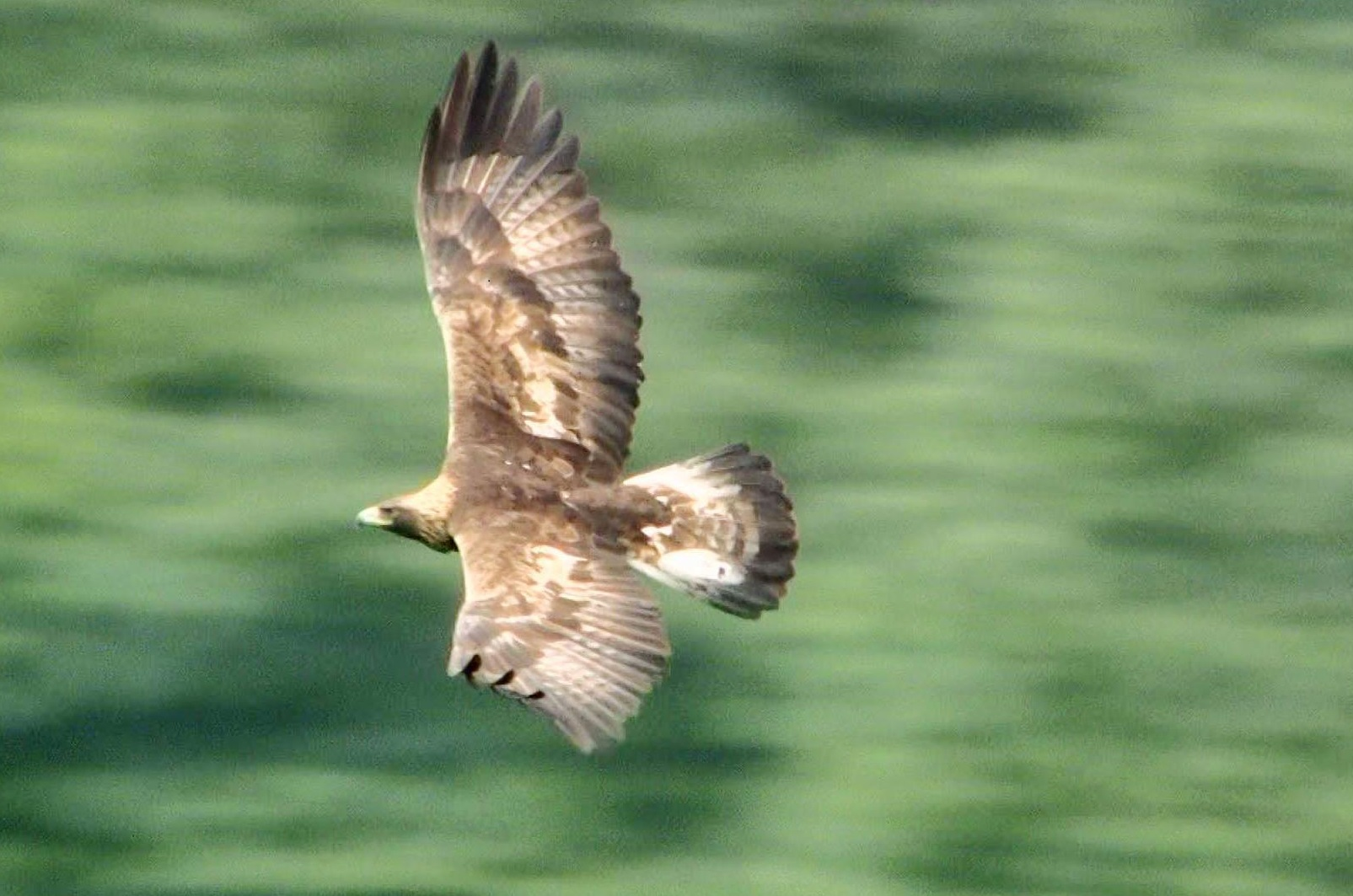 japanese golden eagles face extinction as numbers dive the japan