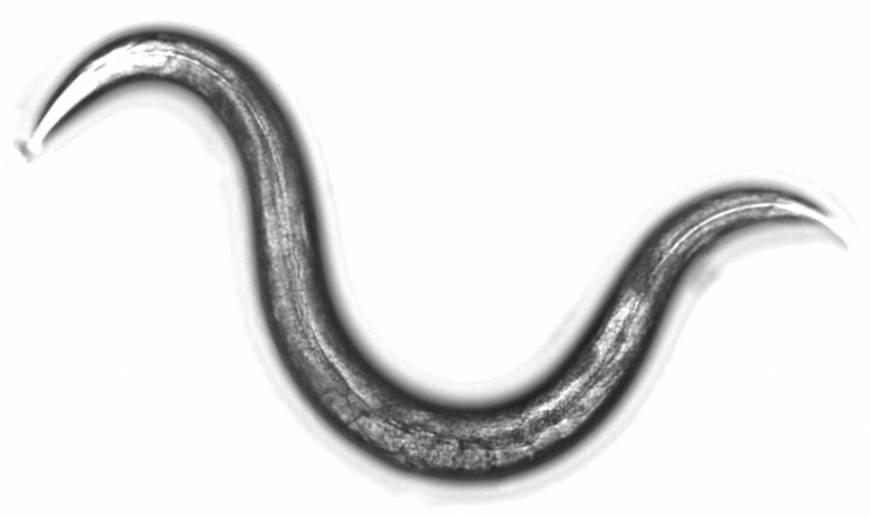 Japanese team says worms can accurately detect cancer
