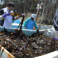 Bounty of the sea: The Marugoto Rikuzentakata Project offers visitors the opportunity to help harvest seaweed. | COURTESY OF RIKUZENTAKATA TOURISM DEPARTMENT