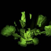 Fungi glow to attract creatures