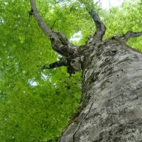 A large tree stretches skyward in early summer | SHIRAKAMI-SANCHI VISITOR CENTER