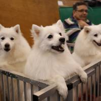 Japanese Spitz look out from their pen during the last day of the Crufts Dog Show in Birmingham, central England, on March 8. Researchers in Japan said Thursday oxytocin, a hormone that among other things helps reinforce bonds between parents and their babies, increases in humans and their dogs when they interact, particularly when looking into one another's eyes.   REUTERS