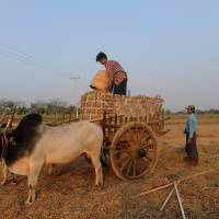 A farmer loads his bullock cart on a farm in Naypyitaw on Friday. | AFP-JIJI