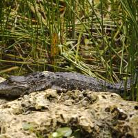 An alligator suns itself along the Anhinga Trail at Everglades National Park, Florida, on Wedneday, as  U.S. President Barack Obama the subtropical swamps. | REUTERS