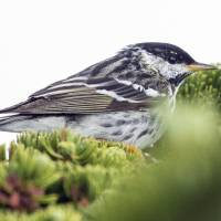 In this June 2013 photo released by the Cornell University Lab of Ornithology, a blackpoll warbler sits on a limb in New Hampshire. A study to be published Wednesday in the journal Biology Letters found that the tiny songbird that summers in the forests of northern North America has been tracked on a 1,700-mile, over-the-ocean journey from the Northeastern United States and eastern Canada to the islands of the Caribbean. | AP