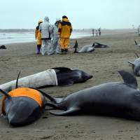 Residents attempt to save melon-headed whales that beached themselves near Hokota, Ibaraki Prefecture, on Friday. | AFP-JIJI