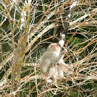Showing no fear: A Japanese macaque sits in a tree near the Afan Woodland Trust Center in Kurohime, Nagano Prefecture. | KENJI MINAMI