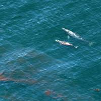 Whales swim near a sheen of oil north of Goleta, Californi., Wednesday. A broken onshore pipeline spewed oil down a storm drain and into the ocean for several hours Tuesday before it was shut off. | AP