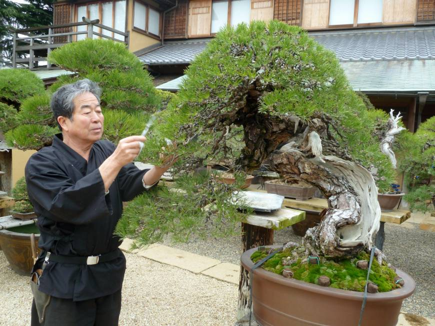 Japan rediscovers joy of bonsai after tiny trees put down ...