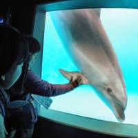 A bottlenose dolphin is seen at Kamogawa Sea World in Kamogawa, Chiba Prefecture, on April 17. The country's zoos and aquariums will vote on the continued use of wild dolphins caught at Taiji, Wakayama Prefecture. | KAMOGAWA SEA WORLD / KYODO