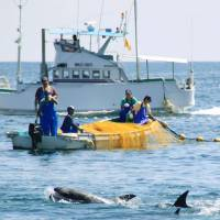 Fishermen drive dolphins toward shallow coves in Taiji, Wakayama Prefecture, in September 2014. On Wednesday, the Japanese Association of Zoos and Aquariums will announce the outcome of a vote by its members on whether the body will remain part of a global zoo body that suspended the association over the acquisition of Taiji dolphins.  | KYODO