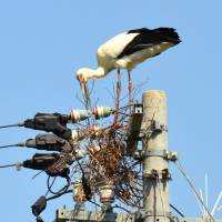 An oriental white stork rebuilds its nest on an electricity pole on Wednesday in Naruto, Tokushima Prefecture. | KYODO