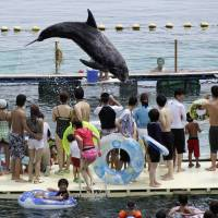 Dance of dolphins: A Risso's dolphin jumps in front of holidaymakers in a small ocean cove in Taiji, Wakayama Prefecture, in 2010. | AP