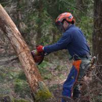 Dangerous work: Yasushi Ishii cuts a tree that fell in winter and was hung up on a living one in the Afan Trust woods. | KENTARO FUKUCHI