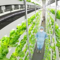 Chiba University's plant factory in Kashiwa, Chiba Prefecture, produces lettuce and other vegetables. | CHIBA UNIVERSITY