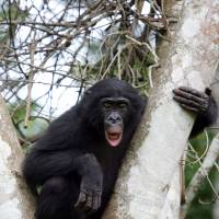 'Drunken monkey' theory of human-ape alcoholic connection rings true among Guinea's swacked chimps