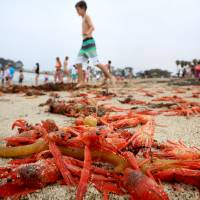 Thousands of red tuna crabs are shown washed ashore in Dana Point, California, Wednesday. Linsey Sala, collection manager for the Pelagic Invertebrates Collection at Scripps Institution of Oceanography, UC San Diego, said the strandings happen periodically and are not neccessarily a threat to the species. | REUTERS