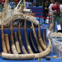 A government official carries a box of ivory products at a confiscated ivory destruction ceremony in Beijing in this file photo taken May 29. DNA testing on tons of ivory seized from traffickers has identified two elephant poaching 'hotspots' in Africa in a development scientists hope will spur a crackdown on the illegal trade decimating the population of Earth's largest land animal. | REUTERS