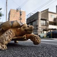 Bon-chan, a 19 year old male African spurred tortoise weighing about 70 kg (154 pounds), walks Wednesday with his owner, Hisao Mitani (not seen), on a street in Tsukishima, Tokyo. Bon-chan loves fruit and vegetables and is often offered carrot and cabbage pieces by cheering neighbors when he is out. | AFP-JIJI