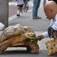 Hisao Mitani feeds his giant tortoise, Bon-chan, Wednesday in Tokyo. | AFP-JIJI