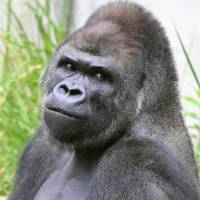 Shabani, a 'handsome' 18-year-old western lowland gorilla at Higashiyama Zoo and Botanical Gardens in Nagoya, has become a star on Twitter. | CHUNICHI SHIMBUN