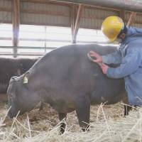Inmates in Hokkaido raise beef cattle to learn about value of life