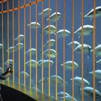 A boy takes a picture Monday of tuna added to a tank at Tokyo Sea Life Park in Edogawa Ward. The aquarium added the 80 new fish Sunday night after tuna in the tank suffered a still-unexplained mass death earlier this year.   KYODO