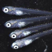 Chicken or egg?: Researchers have identified a gene in medaka (Japanese rice fish) that controls whether the reproductive precursor cells known as germ cells eventually become sperm or eggs. | REUTERS