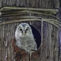 Night owl: Ural owls are widely distributed across Eurasia, from Scandinavia to South Korea and Japan. | KENTARO FUKUCHI