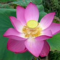 A lotus, a powerful symbol of Buddhism, opens at Kosanji Temple compound. | STEPHEN MANSFIELD