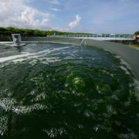 The pond scum that may one day fuel planes