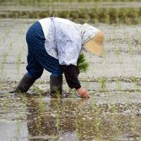 A farmer plants rice seedlings in a paddy rice field in Narita, Chiba Prefecture, in April. Trade negotiations between the U.S. and Japan over rice imports and other products are nearing an end.   BLOOMBERG