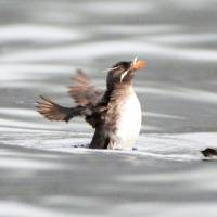 Two Rhinoceros auklets rest in June on the sea off Hokkaido's Teuri Island, which is home to the world's largest colony of the bird. | KYODO