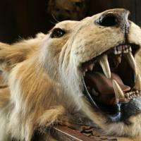 Poaching of Cecil the lion prompts United, Delta to ban big-game trophies