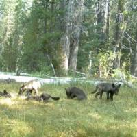 This image of a wolf pack was captured by a trail camera near Mount Shasta in Siskiyou County, California, on Aug. 9. | REUTERS