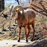 A bighorn sheep, seen at Kanazawa Zoo in Yokohama, is one of the many species that zoos in Japan need to breed. | YOKOHAMA GREENERY FOUNDATION / KANAZAWA ZOO