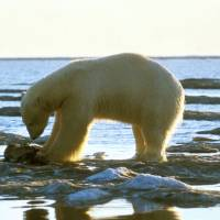 A polar bear eats its kill along the coastline of Alaska. Ecological changes wrought by global climate change have brought starvation to many polar bears in the Arctic. | BLOOMBERG NEWS