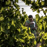 A climate scientist writes down data in a vineyard in Liergues, France. | AFP-JIJI